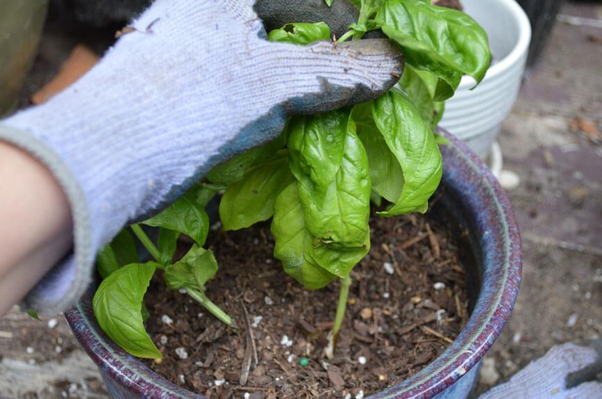 Putting Soil Around Basil Cuttings