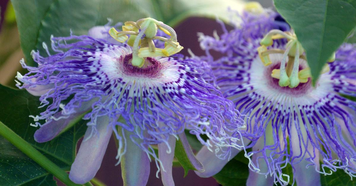 Purple passionflower passiflora incarnata mightylinksfo
