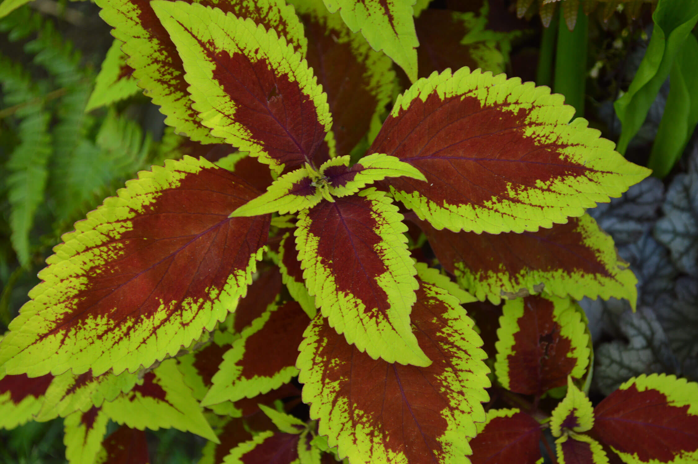 Coleus Colorful Shade Plants Easily Grown From Seed Or Cuttings