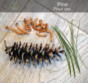 Pine tree needles, male cones, female pine cone